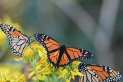 butterflies-e1574359751541